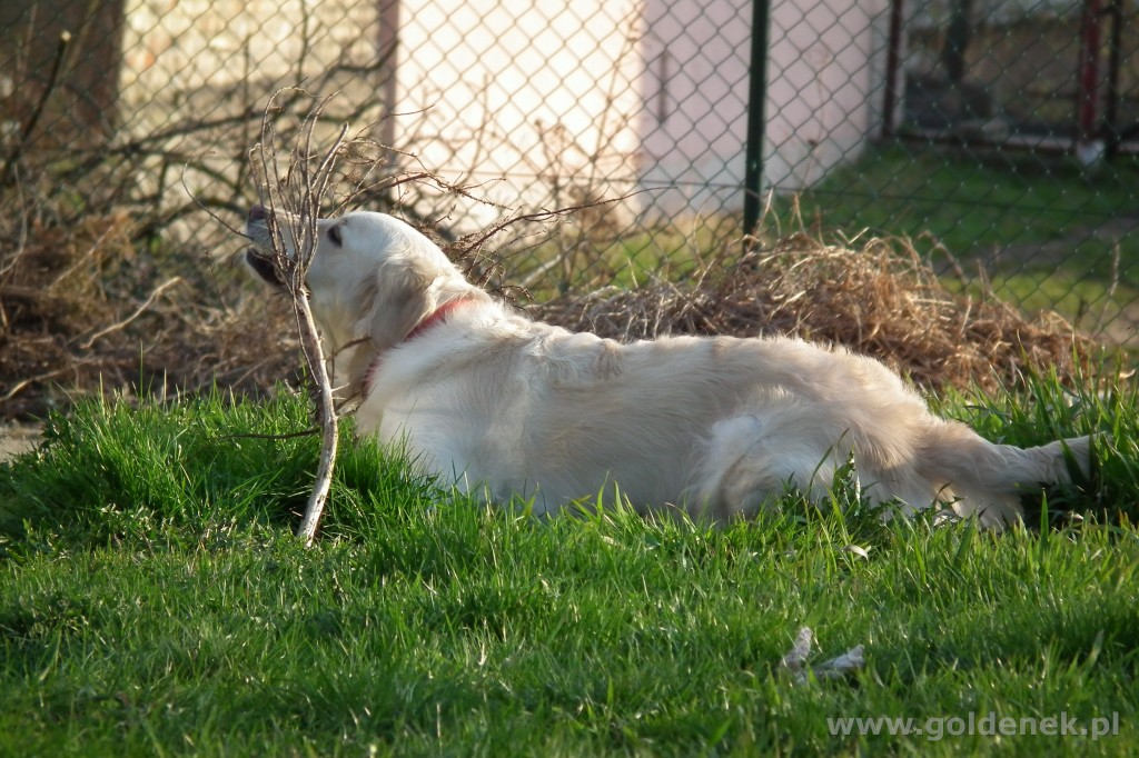Golden Retriever tapeta